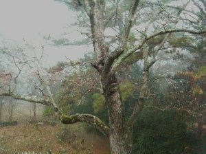 Fog and the Chinese Tallow Tree