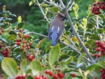 Cedar Wax wing red yellow side-001