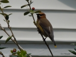 Cedar Waxwing my berry best-001